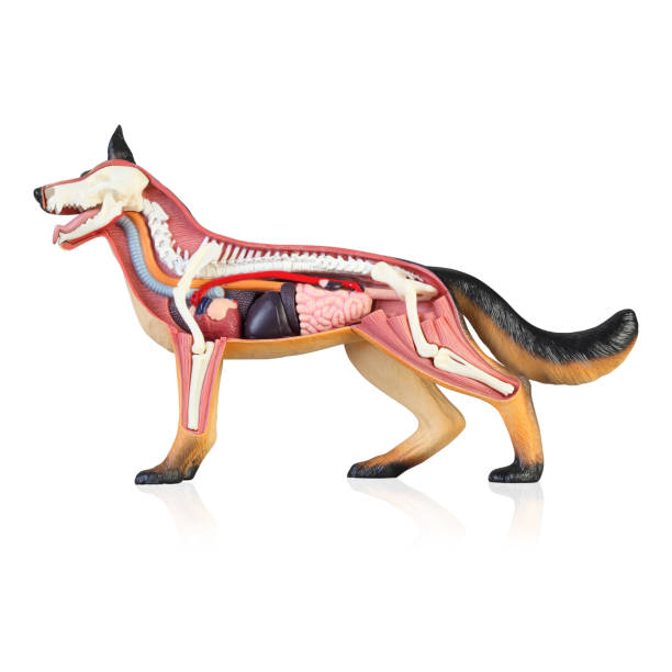 Anatomy of a dog Model of the dog isolated white background dog diagram stock picture
