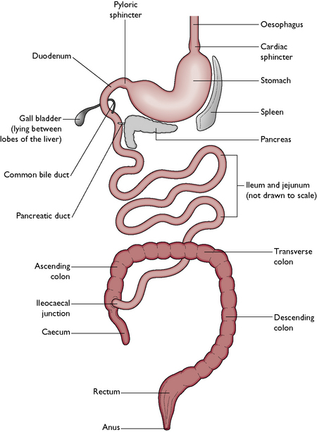 Illustration of digestive system