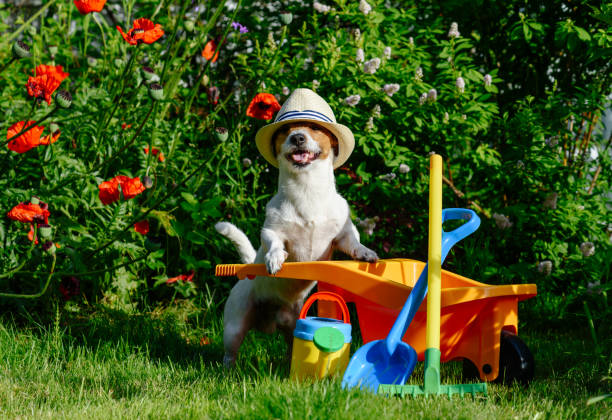 Jack Russell Terrier holding tools and wheelbarrow near poppy flowers