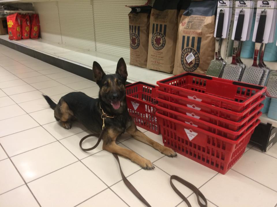 German Shepherd laying down in front of Canadian Tire baskets