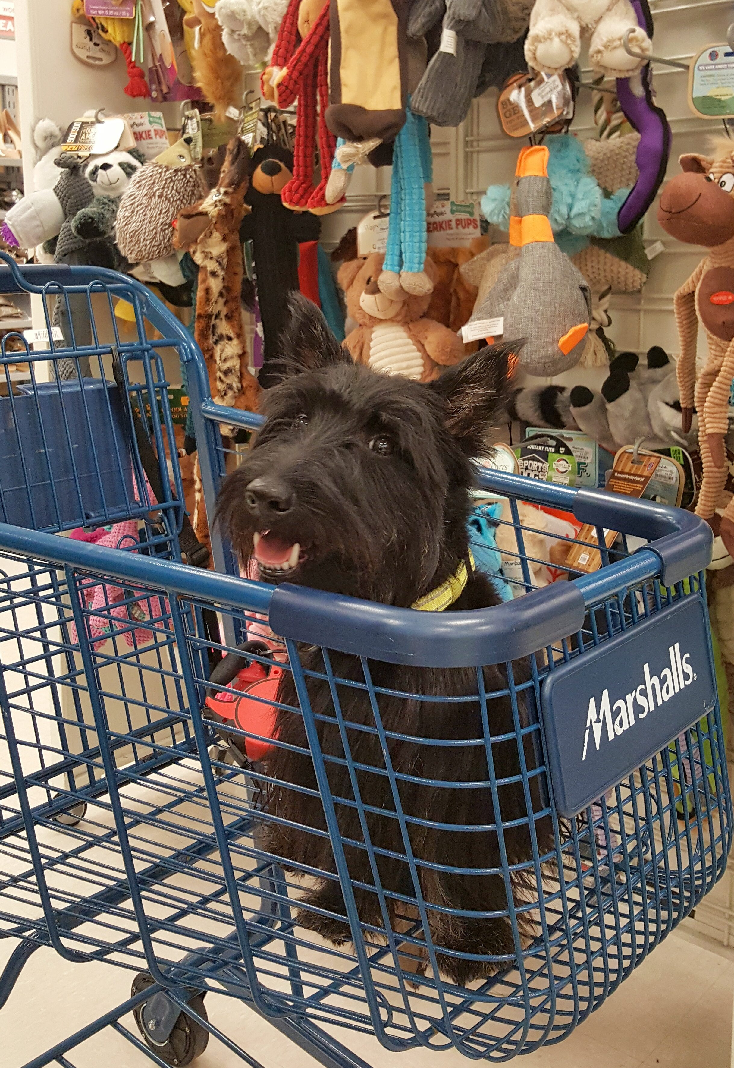 Black Westie dog sitting inside Marshalls shopping cart smiling in front of dog toys