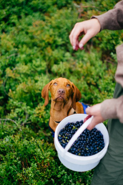 Harvesting berries with a dog in the forest Hiking with a dog to harvest fresh European blueberries, picked directly from the forest ground. Trysil, Norway. dog blueberries stock pictures, royalty-free photos & images