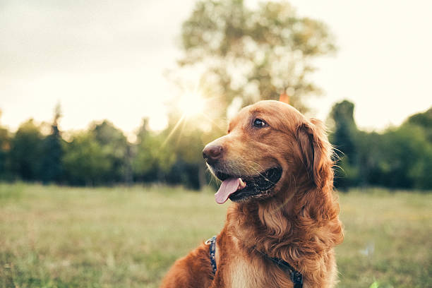 Dog in the city park Golden retriever at the park dog stock pictures, royalty-free photos & images