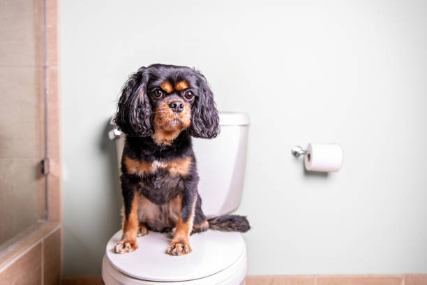 Dog on toilet. Landscapeorientation. A cute dog sits on a toilet in a nice home. dog urinary  stock pictures, royalty-free photos & images