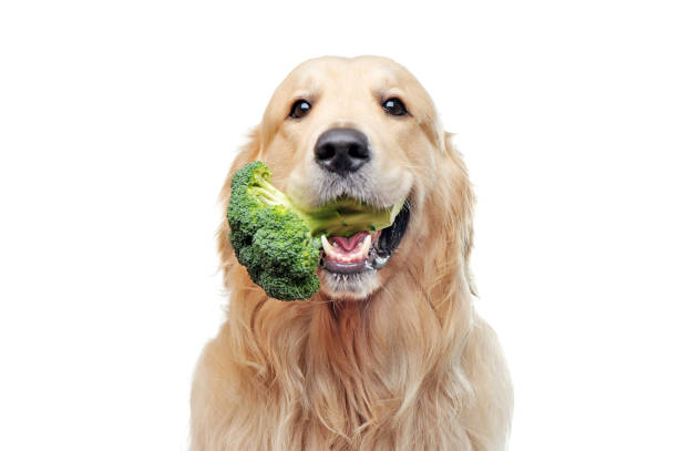 Golden retriever with broccoli in mouth Golden retriever with broccoli in mouth fresh food dog stock pictures, royalty-free photos & images