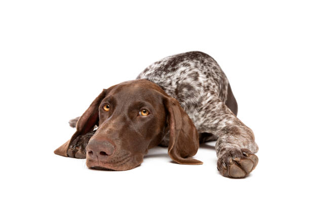 German Short haired Pointer puppy German Short haired Pointer puppy in front of a white background dog liver stock pictures, royalty-free photos & images