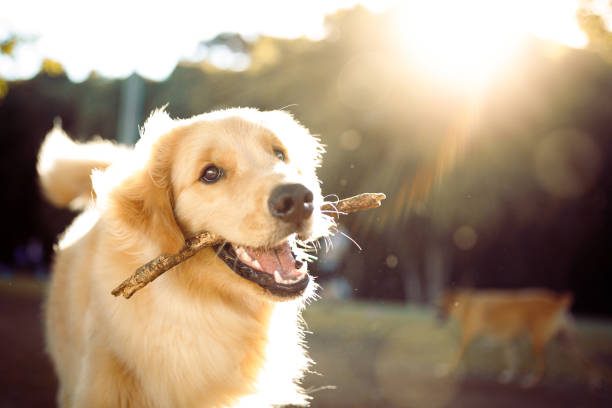 Cute happy dog playing with a stick Dog playing in the park. purebred dog stock pictures, royalty-free photos & images