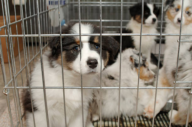 Desperate Cuteness sad puppy stares at you through cage pet store dog stock pictures, royalty-free photos & images