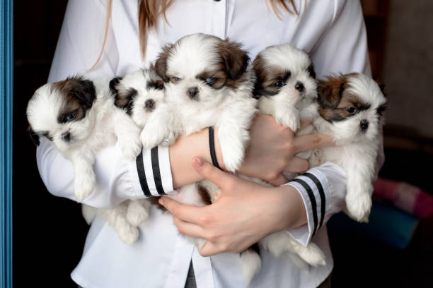 Five puppies shitzu in the hands of the breeder. Litter dogs in the hands of the breeder. Little puppies. breeder dog stock pictures, royalty-free photos & images