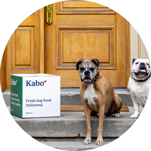 Boxer and bulldog sitting on doorsteps next to Kabo box