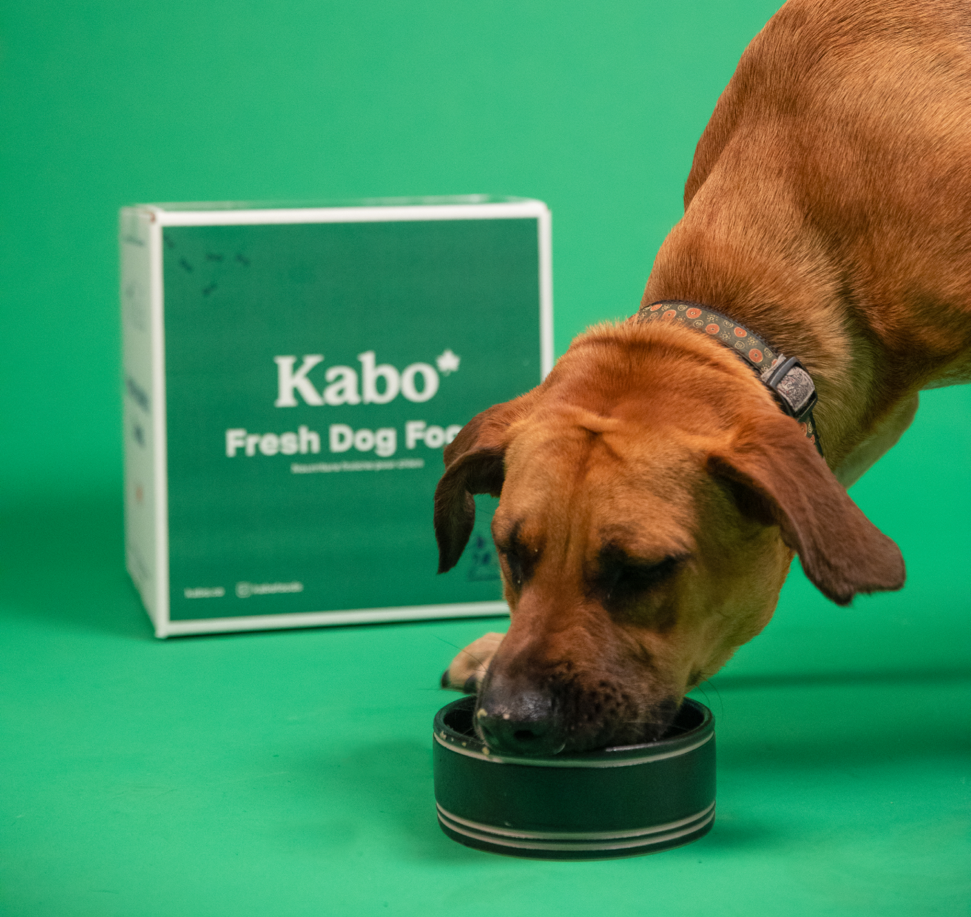 Black Mouth Curr eating from a ceramic bowl in front of a kabo box