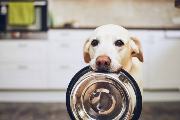 Dog waiting for feeding Hungry dog with sad eyes is waiting for feeding in home kitchen. Adorable yellow labrador retriever is holding dog bowl in his mouth. pet food  stock pictures, royalty-free photos & images