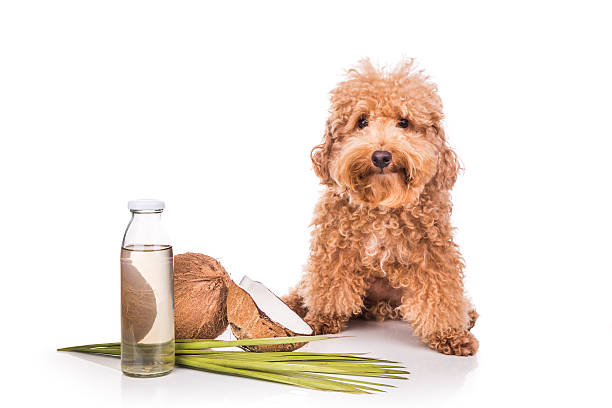 Coconut oil and fats natural ticks fleas repellent for pets Coconut oil and fats are good and natural ticks and fleas repellent for pets like dogs due to lauric acid. oil dog stock pictures, royalty-free photos & images