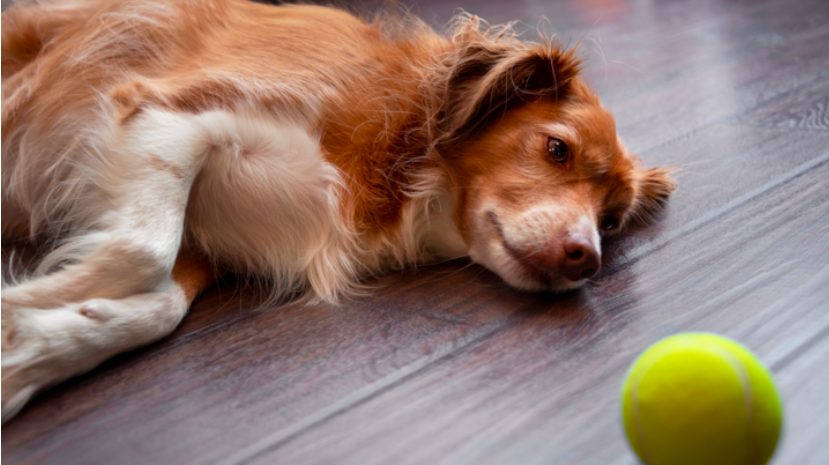 Dog laying on floor staring at a ball