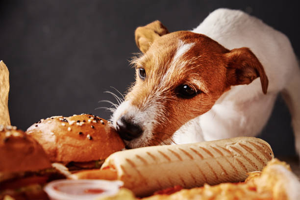 Jack Russel sniffing human food