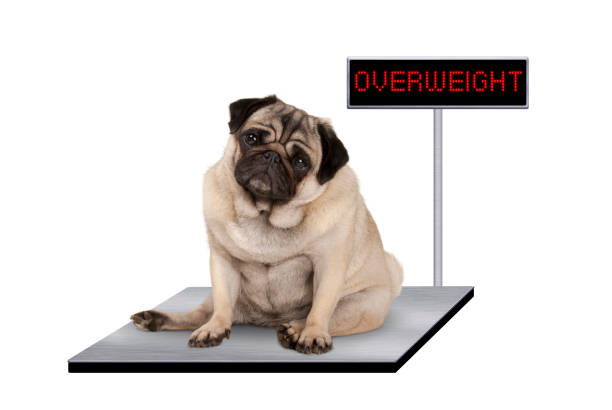 heavy fat pug puppy dog sitting down on vet scale with overweight LED sign heavy fat pug puppy dog sitting down on vet scale with overweight LED sign, isolated on white background dog weigh stock pictures, royalty-free photos & images