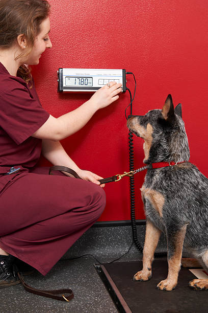 A nurse weighing a cute dog in the office Problem of overweight family pets - Australian Blue Heeler dog weigh stock pictures, royalty-free photos & images