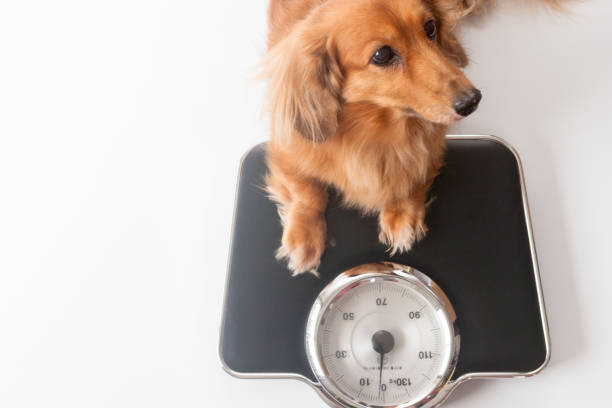 Dachshund Dachshund dog weigh stock pictures, royalty-free photos & images