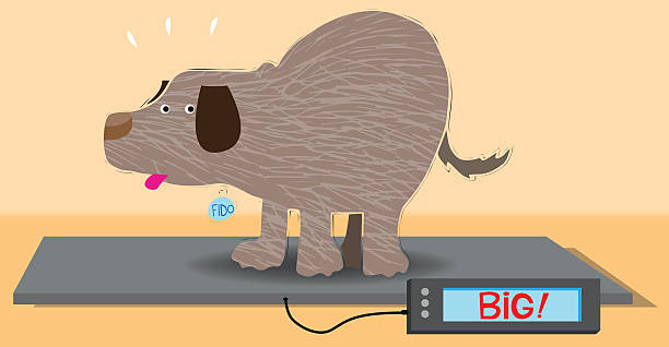 Overweight dog on an animal weight scale This dog is going to need to be on a diet! dog weigh stock illustrations