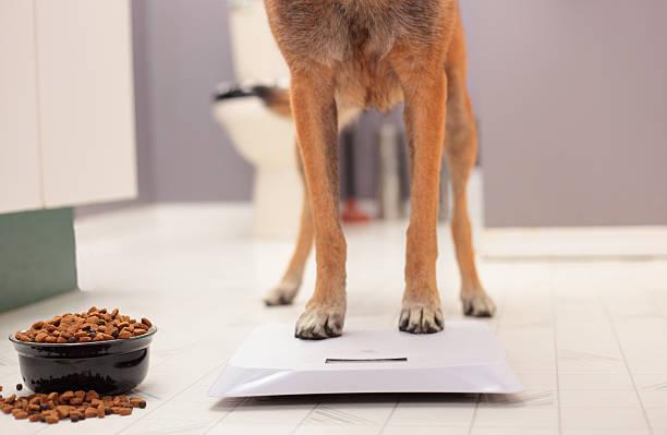 Dog's feet standing on a scale with a food bowl beside it A dog standing on a bathroom scale with tempting food nearby dog weigh stock pictures, royalty-free photos & images