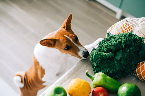 Curious Basenji dog puppy climbs on the table with fresh vegetables at home in the kitchen. Curious Basenji dog puppy climbs on the table with fresh vegetables at home in the kitchen. dog vegetables stock pictures, royalty-free photos & images