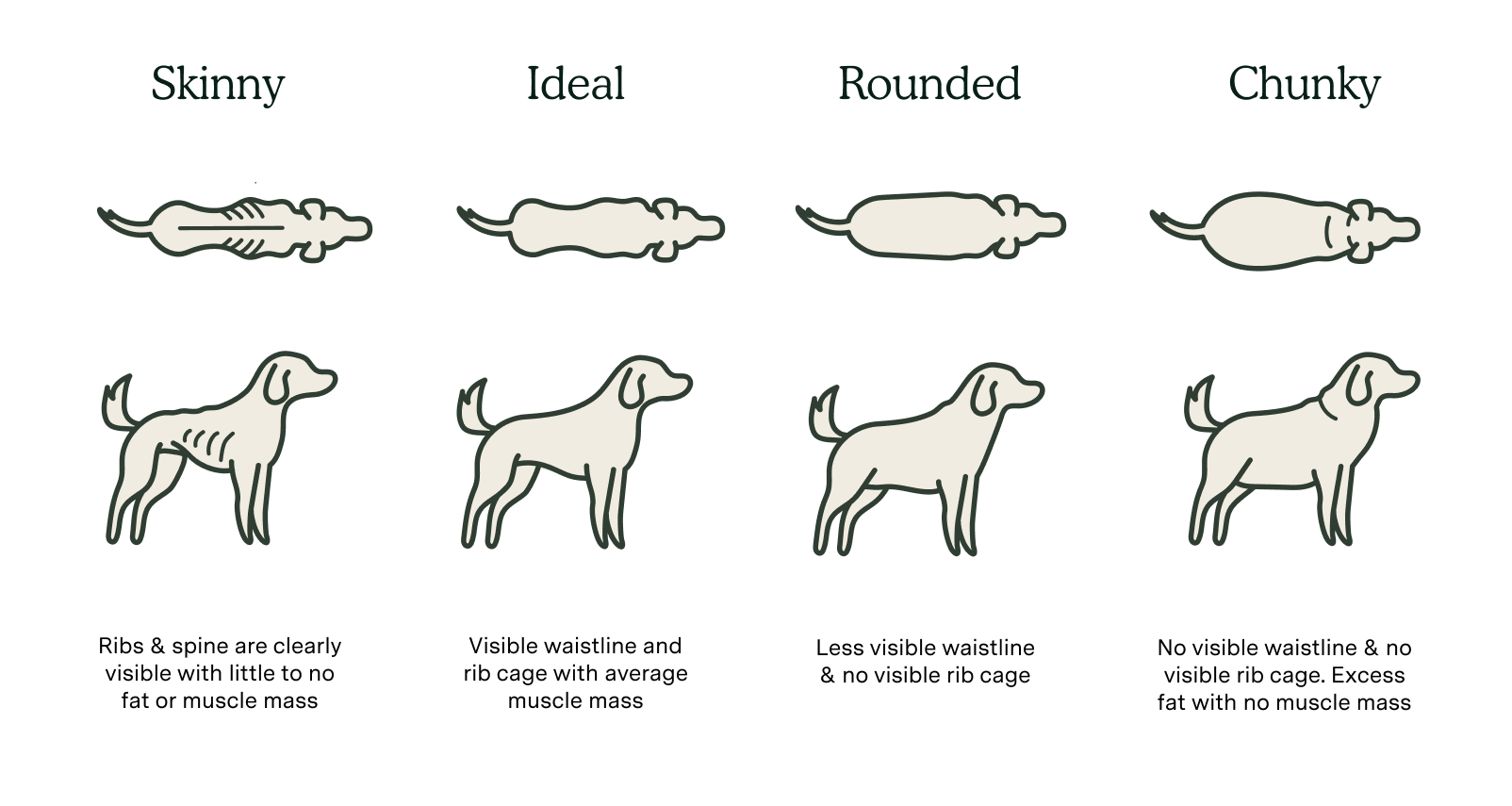 Body condition score chart for dogs. Skinny body type, ideal body type, rounded body type and chunky body types are shown in this graphic