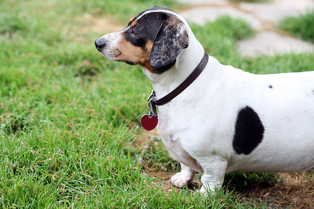 Obese white and black piebald dachshund standing in the grass staring off into the distance with a leather collar