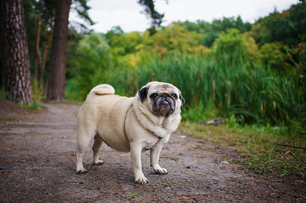 Obese little pug standing in the middle of a dirt path