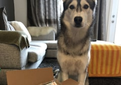 Adult husky with one paw inside opened Kabo delivery box in living room