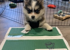 Husky puppy propped up on Kabo delivery box