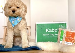 White curly haired dog sitting next to Kabo delivery box with chicken and beef meal in front