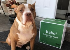 Pitbull waiting patiently on grey rug next to Kabo delivery box