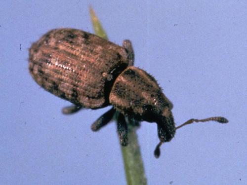 Argentine Stem Weevil