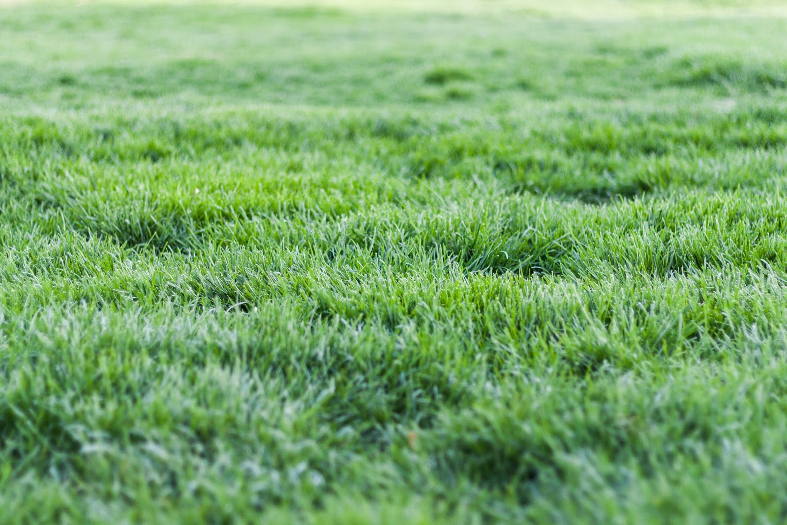 rye grass picture