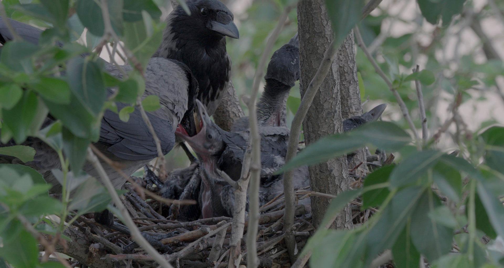 Rabenvögel - Schwarze Chronisten