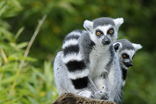 Two ring tailed lemurs