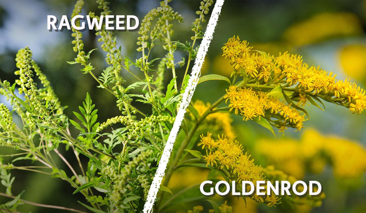 ragweed versus goldenrod