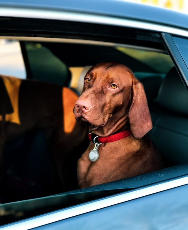 dog riding in backseat of car for summer pet safety