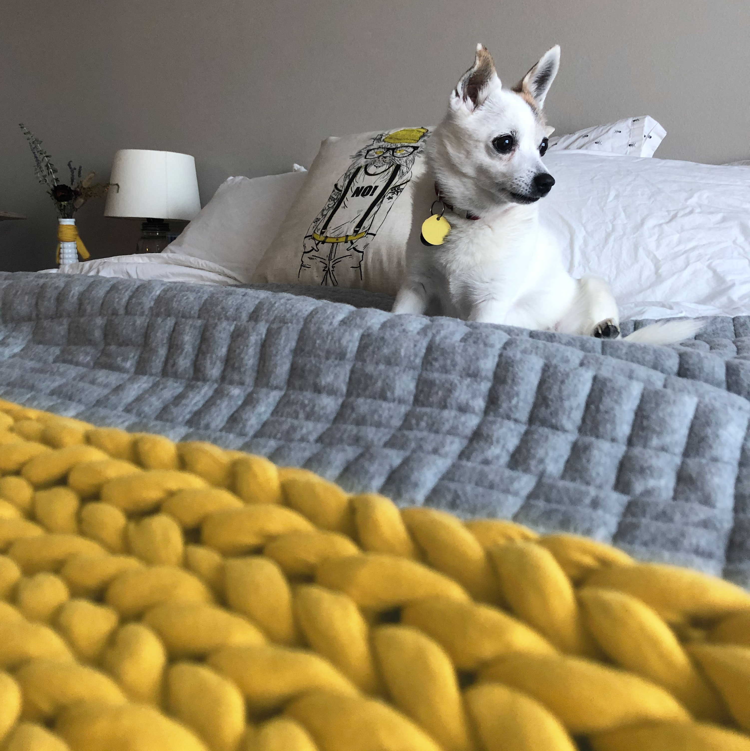 White dog sitting on a bed with grey and yellow bedding.