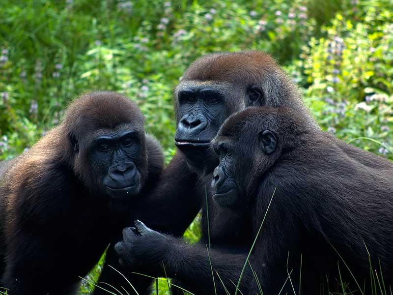 gorilla social 600