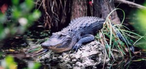 Alligator spotted on Airboat Ride