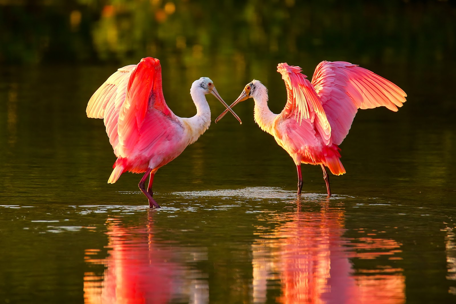 A pair of Roseate Spoonbills dance in the setting sun of Everglades National Park.