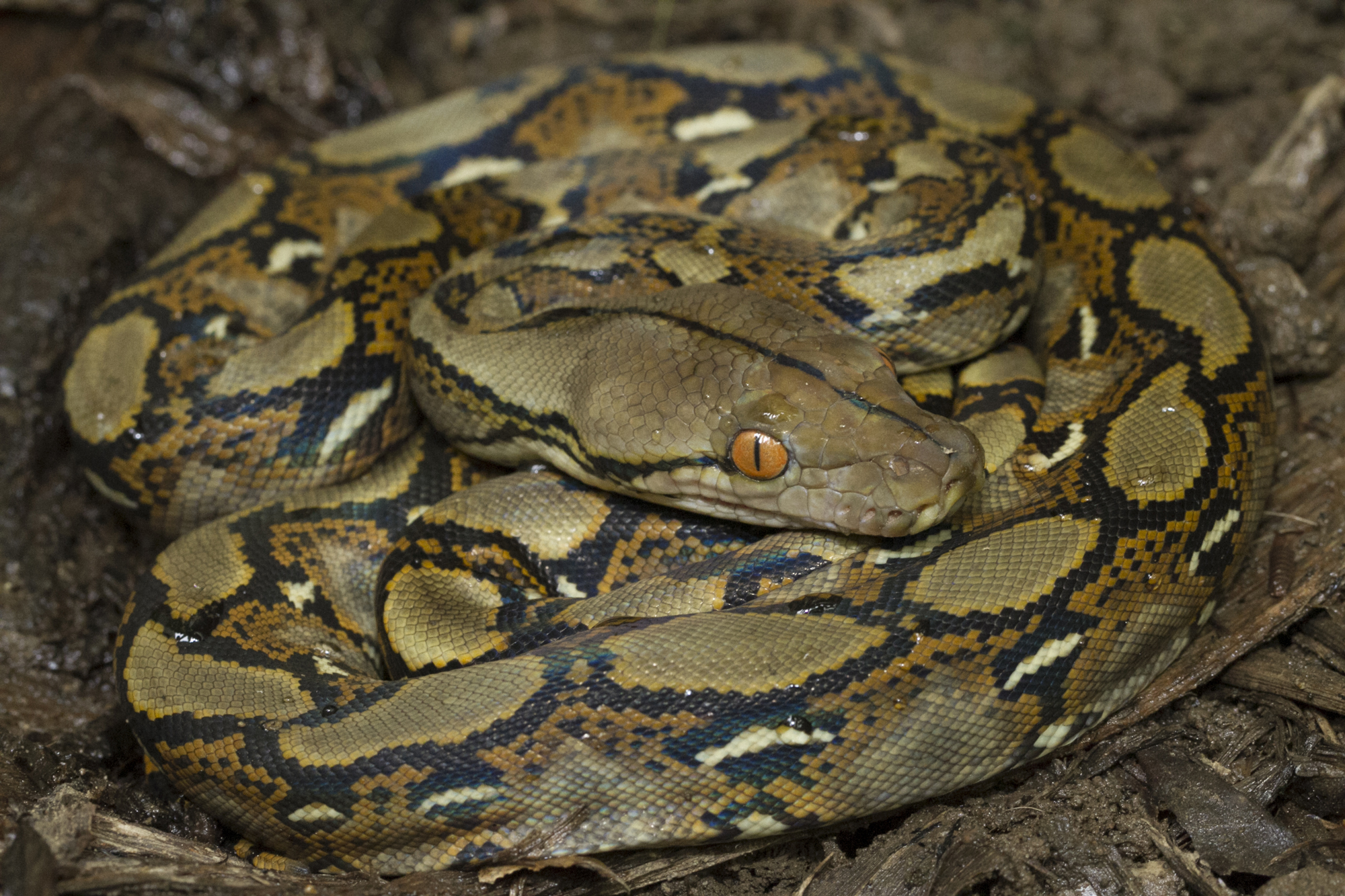 The Burmese Python is one of the many invasive species found in Everglades National Park.