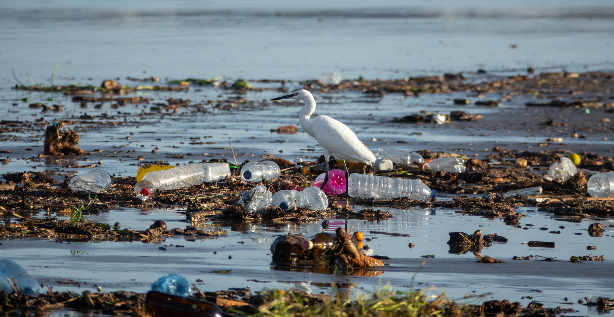 A little egret (Egretta garzetta) wades through trash in the Everglades.
