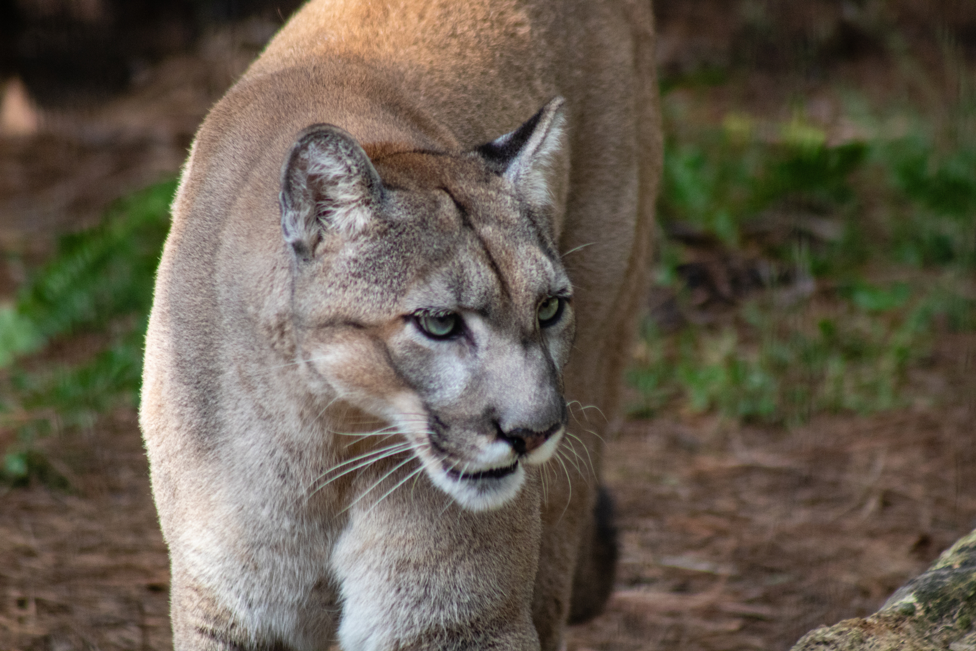 The endangered Florida panther is one of the many species found in the Florida Everglades.