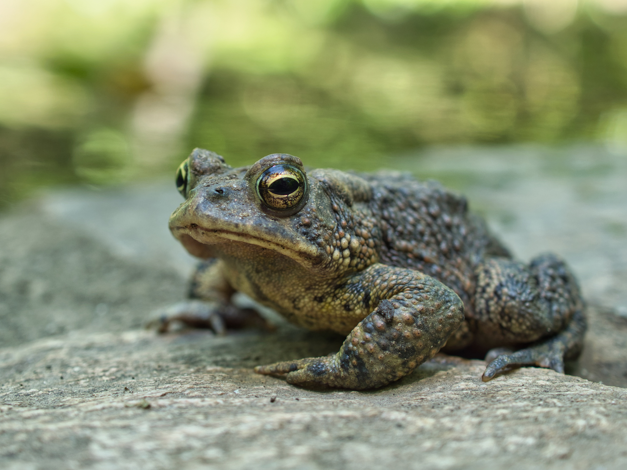 Oak Toad (Anaxyrus quercicus) can be found throughout Florida, except for the Florida Keys