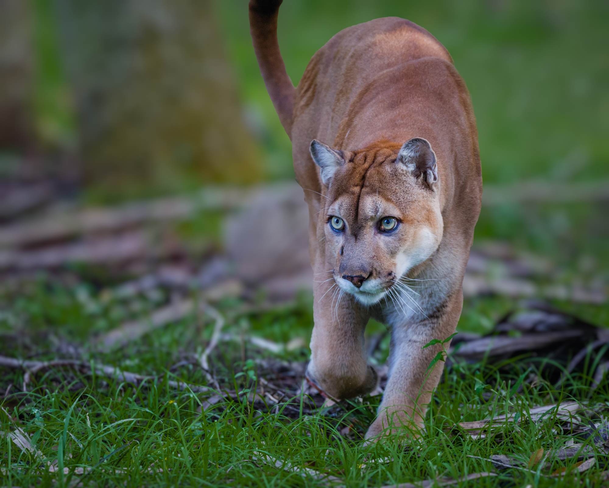 Florida Panther - (Puma concolor coryi) is one of the most well-known endangered species in the Everglades