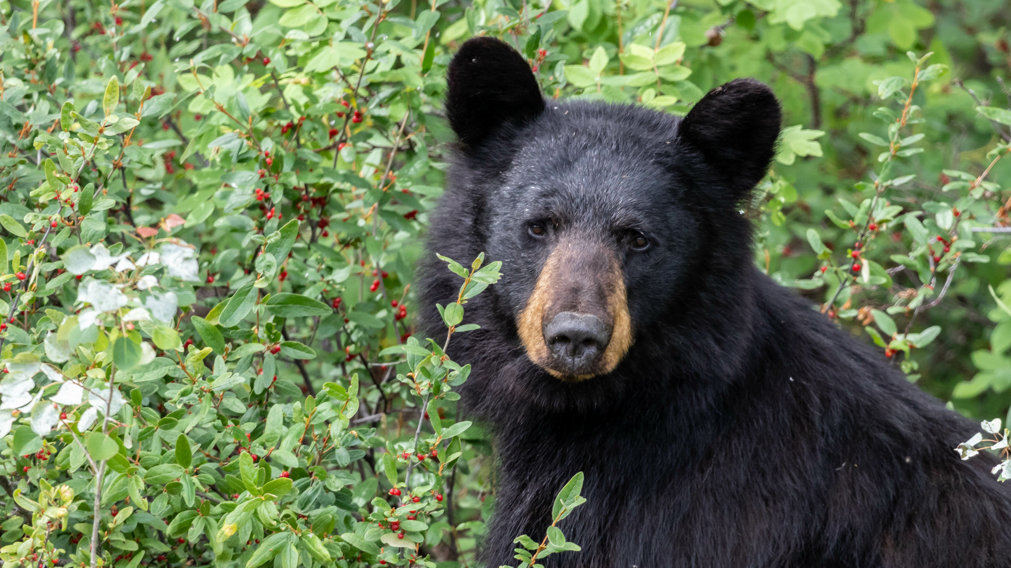 Florida Black Bear - (Ursus americanus floridanus) is the only species of bear found in Florida