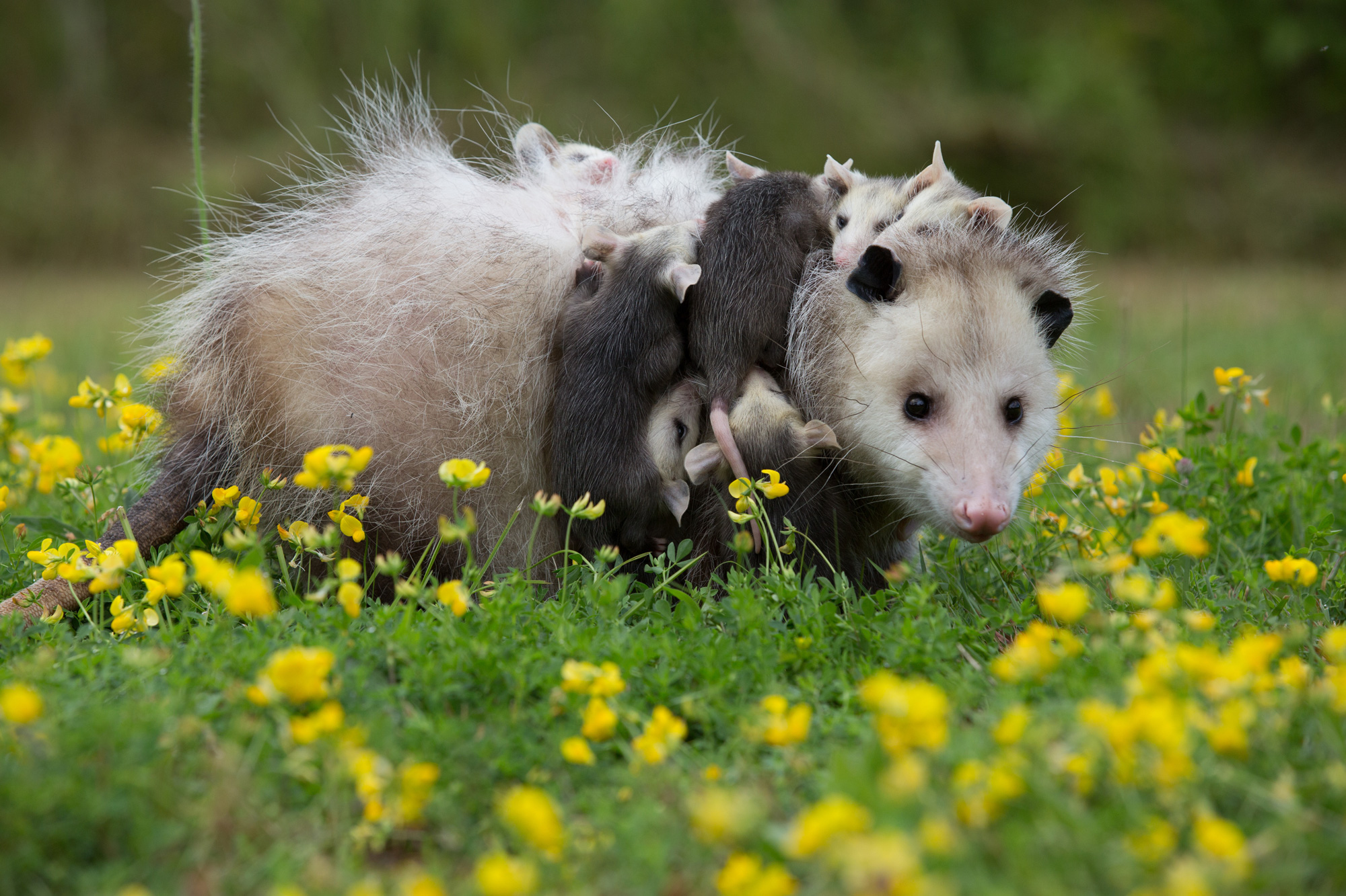Virginia Opossum - (Didelphis virginiana) are the only marsupials found in the Everglades