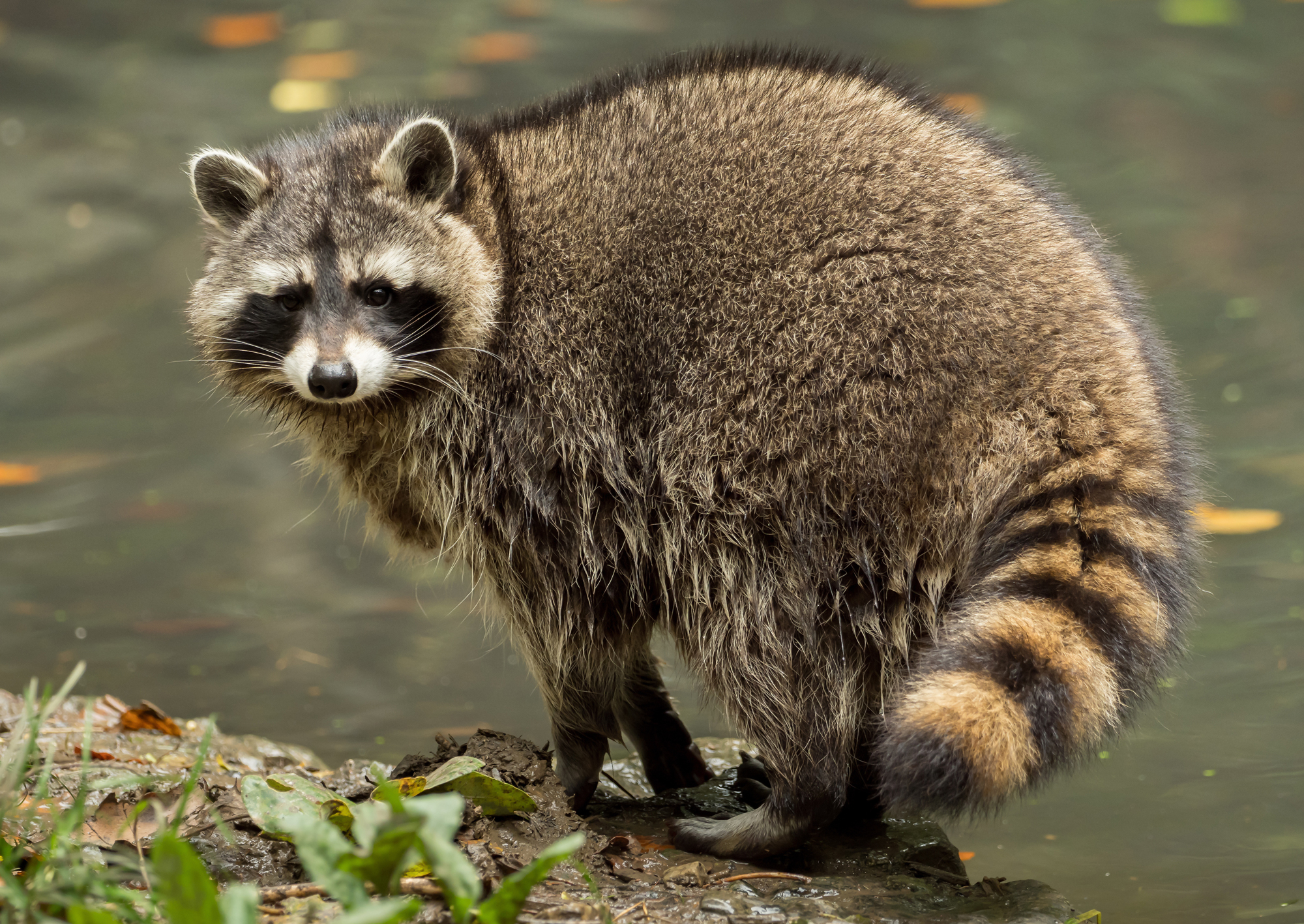 Raccoon - (Procyon lotor) use water contact to increase the tactile ability of their front paws